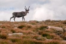 A reindeer near the top of Cairn Gorm