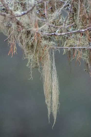 Lichen hanging from a tree