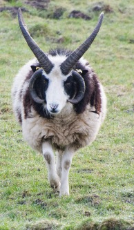 'The Lord of the Rings' sheep